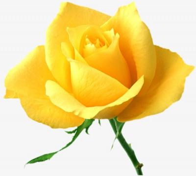 rosa preservada de color blanca