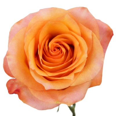 rosa preservada color naranja