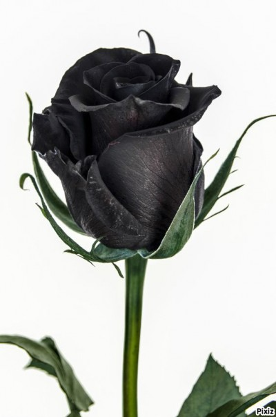 rosa preservada color negro