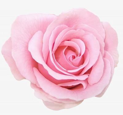 rosa preservada color rosa